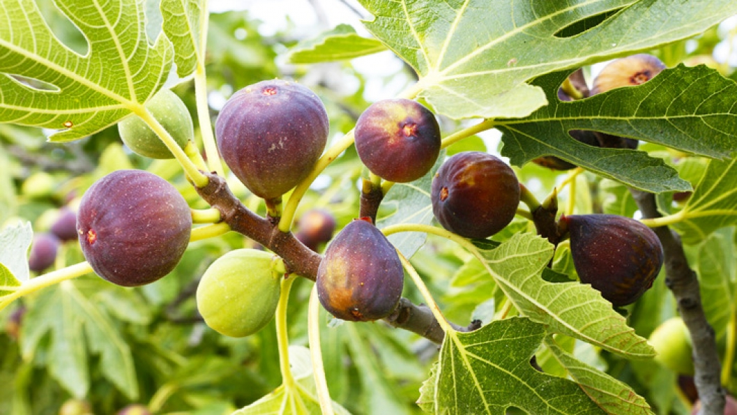 Uses of Figs As Natural Remedy