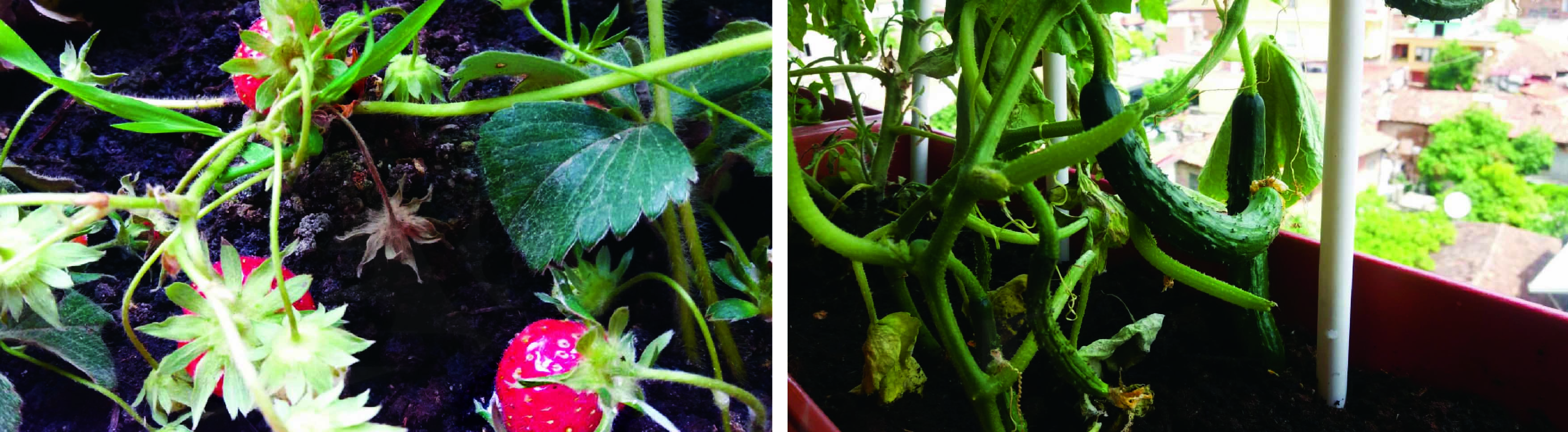 Strawberries and cucumbers planted in Rezarta's balcony