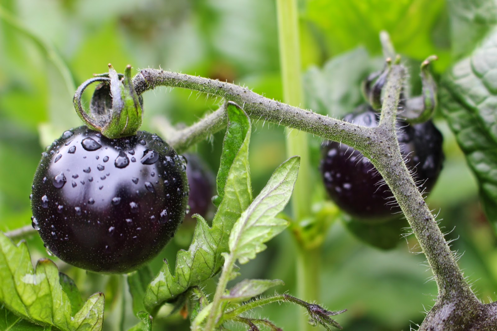 During the growth process, these tomatoes start out green and turn black when exposed to sunlight. Photo: WebLibrary