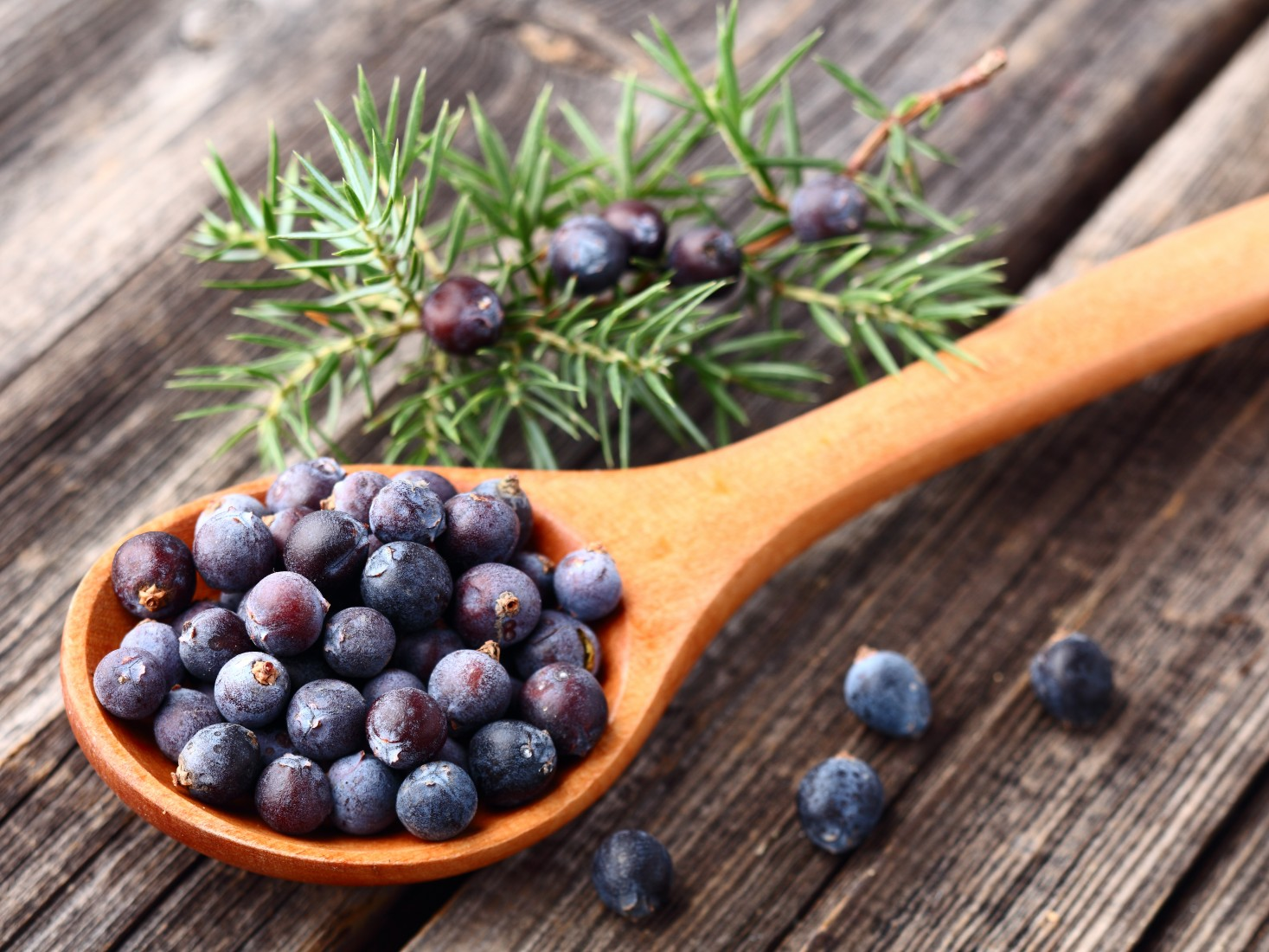 Juniper is magical, because its juice can be easily used in your homes to cleanse kidneys, urinary tract, deal with stomach problems and also cleans lungs. Photo: WebLibrary