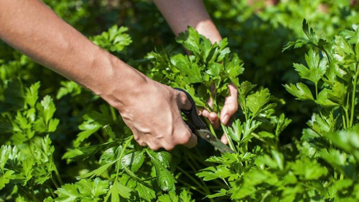 Majdanozi – Si Të Rrisni Bimën Shëruese Në Ballkon