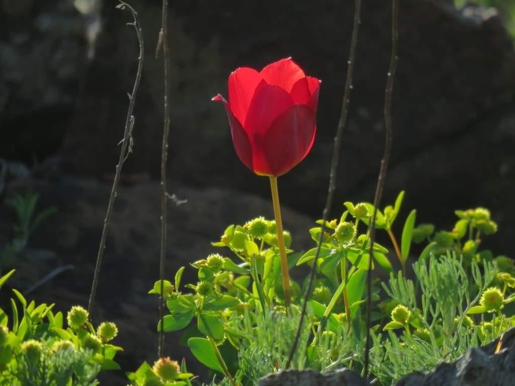 tulipani2-1024x768.jpg